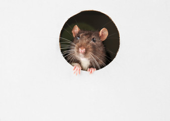 Cute funny rat looking out of hole in white cardboard