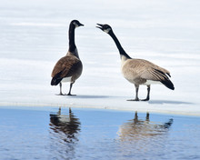 Two Canada Geese Standing On Ice Talking