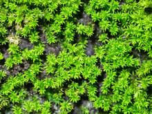 Macro Of Green Moss.