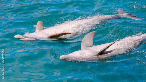 Plakat Para delfinów robi sztuczki w wodzie