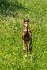 Portrait of young curious foal on a spring pasture