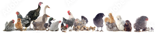 Fototapeta group of poultry
