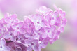 Close-up image of spring lilac violet flowers, abstract soft floral background