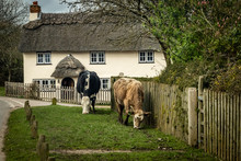 Cattle Grazing In A Beautiful New Forest Village.