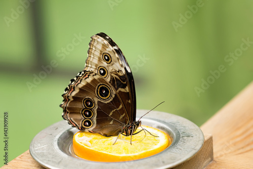 Fotografie, Obraz  Morpho Helenor butterfly eating citrus, orange
