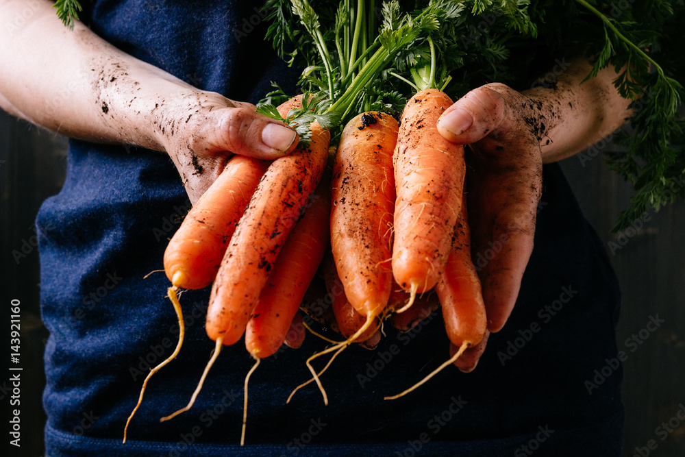 Fototapety, obrazy: Organic fresh harvested vegetables. Farmer's hands holding fresh carrots, closeup