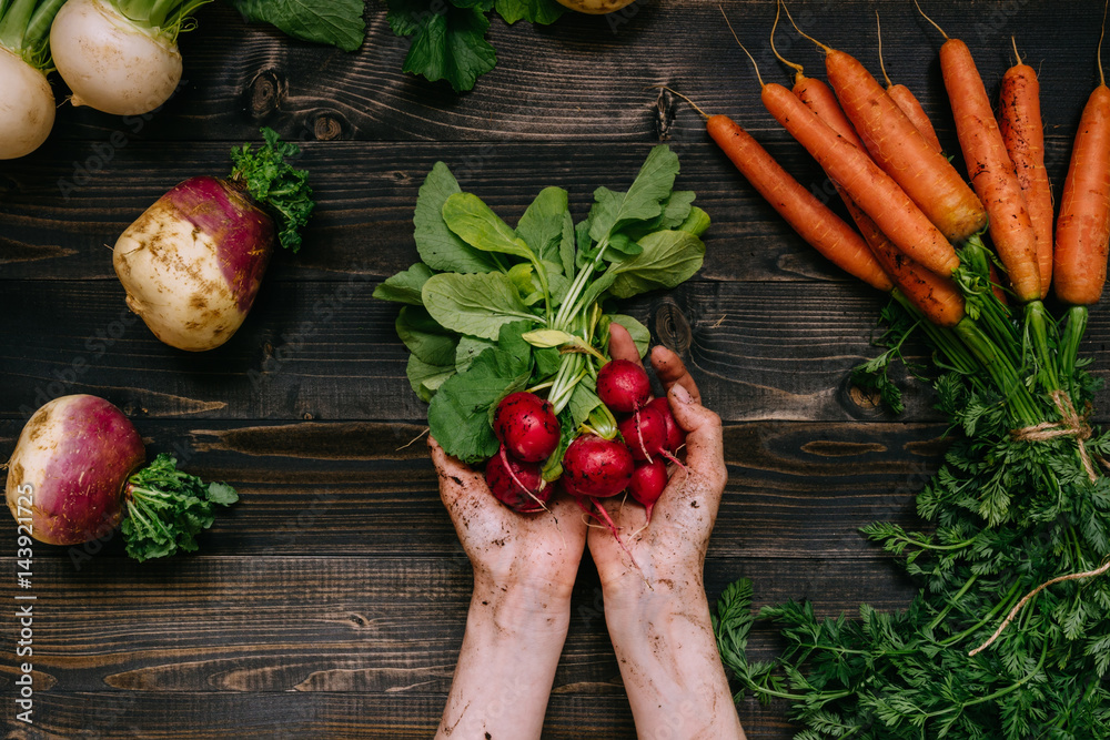 Fototapety, obrazy: Organic vegetables. Farmer's hands holding harvested radish on the dark wooden background, top view