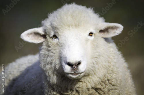 Photo sur Aluminium Sheep Portrait of white sheep. Farm animal.
