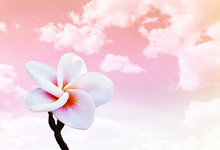 Isolated Beautiful Sweet Pink Flower Plumeria On Dreamy Pink Sky Background