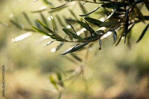 Papiers peints Oliviers coltivazione di ulivi in Puglia