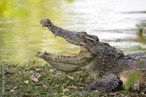 Foto op Plexiglas Krokodil Image of a crocodile on the grass. Reptile Animals.