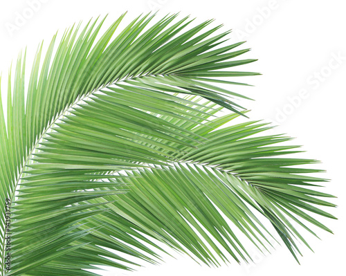 Poster Palmier Palm leaf isolated