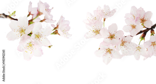 Tuinposter Kersenbloesem white pink cherry blossom