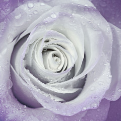 Obraz na SzkleBeautiful flower rose with water drops