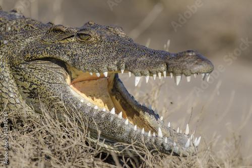 Autocollant pour porte Crocodile Nile crocodile (Crocodylus niloticus). Botswana