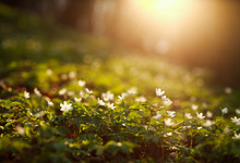 Spring Awakening Of Flowers And Vegetation In Forest On Sunset Background