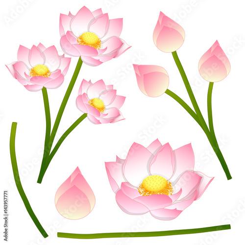 Nelumbo nucifera indian lotus sacred lotus bean of india nelumbo nucifera indian lotus sacred lotus bean of india egyptian bean mightylinksfo