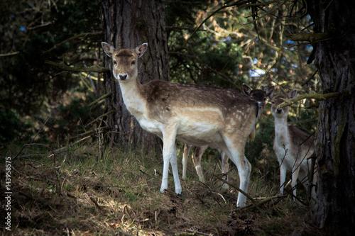 Photo Stands Roe Een ree beschermd haar twee jongen in het bos
