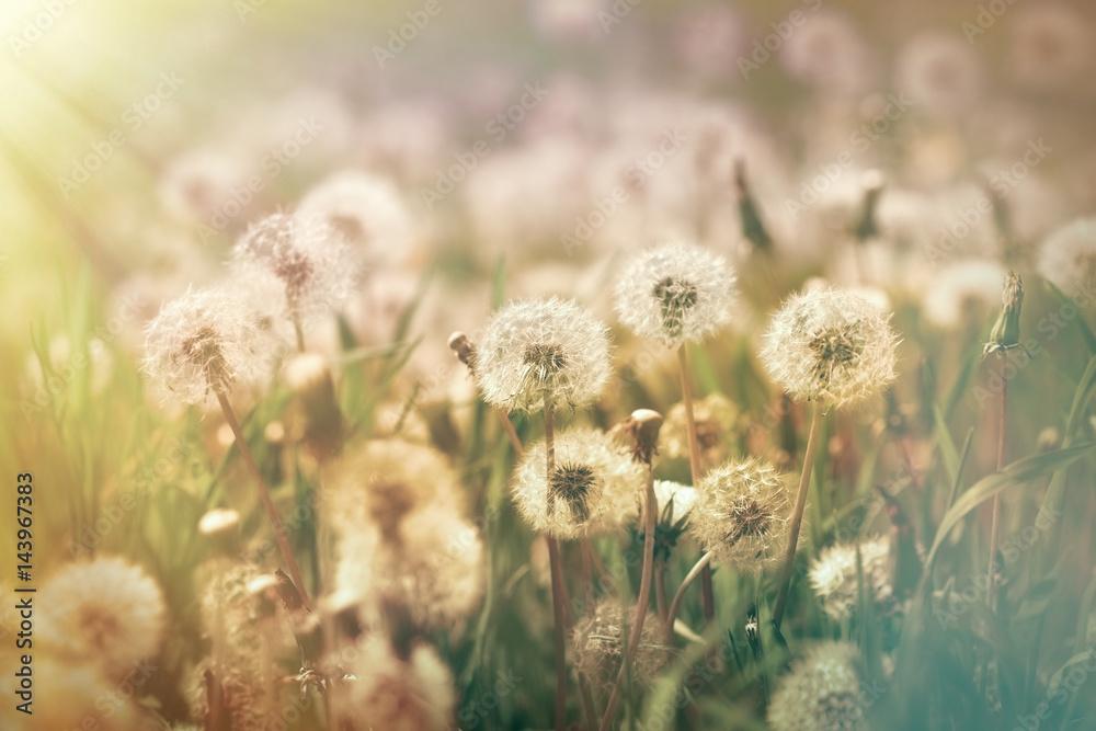 Fototapety, obrazy: Dandelion seeds in meadow lit by sunlight - spring in meadow