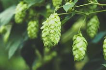 Green Fresh Hop Cones For Making Beer, Closeup