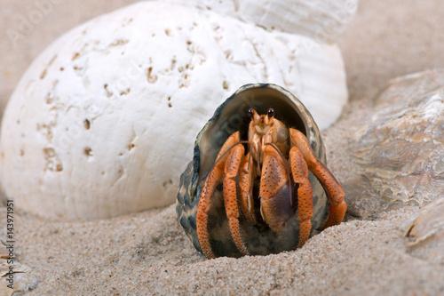 Caribbean Hermit Crab (Coenobita clypeatus)/Caribbean Hermit Crab on beach