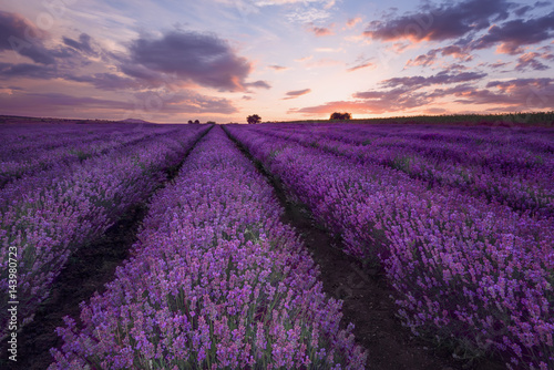 Poster Violet Lavender fields. Beautiful image of lavender field. Summer sunset landscape, contrasting colors. Dark clouds, dramatic sunset.