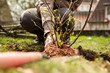 canvas print picture - Frau beim einpflanzen von einem Strauch, Gartenarbeit und Hobby