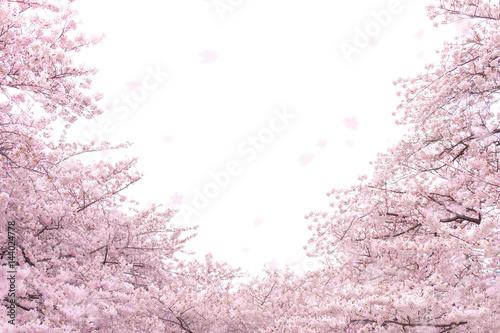 Deurstickers Kersen 桜