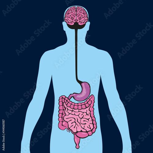 Intestin - cerveau - organe - anatomie - digestion - alimentation ...