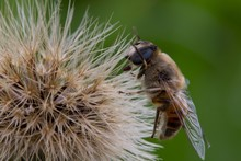 Close Up Of Honey Bee Pollinating A Dandelion Flower