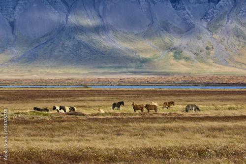 Europe,Iceland, Region Vesturland..Wild horses