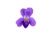 Wild violet flower isolated on a white background.