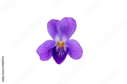 Wild violet flower isolated on a white background. Poster