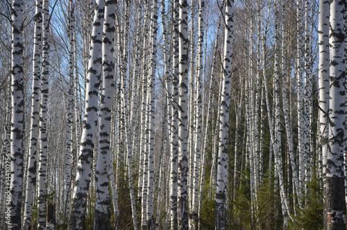 Papiers peints Bosquet de bouleaux Birch Grove