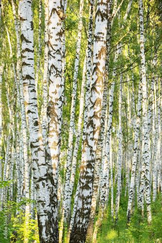 Garden Poster Birch Grove summer in sunny birch forest
