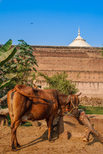 Taj Mahal Fence And And A Cow Grazes Near This Wonder Of The World. Siple Indian Life. One Of The Most Famous Building In The World. This Mausoleum Was Built In 1631.