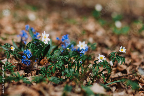Anemone Nemorosa White Tender Spring Flowers Growing At Forest