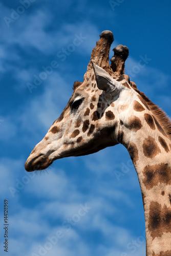 Photo  Closeup of a Giraffe