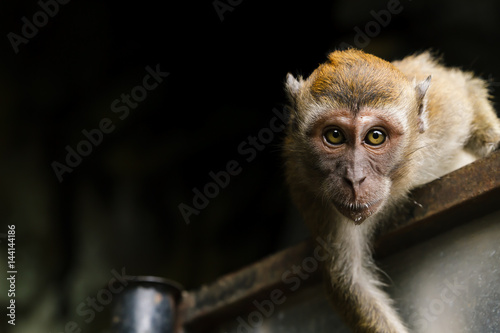 Canvas Prints Monkey Monkey - Batu Caves