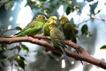 Four Parakeets Having A Meeting