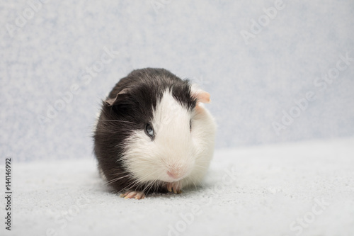 Fotografie, Obraz  Adorable funny guinea pig looking suspiciously from below