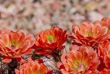 Beautiful Blooming Wild Desert Cactus Flowers. Claret Cup (Echinocereus Triglochidiatus) Cactus Flower.