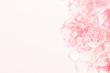 Carnation Flowers.