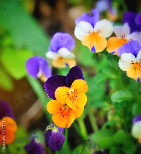 Fototapety, obrazy: Tricolor pansy flower plant natural background, springtime