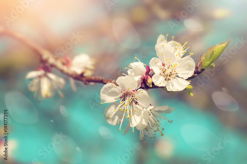 Obraz Pear blossoms in spring - fototapety do salonu