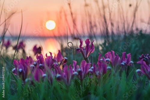 Poster Iris Wild irises on the estuary bank.