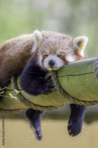 Photo Red Panda Sleeping. This cute nocturnal animal asleep