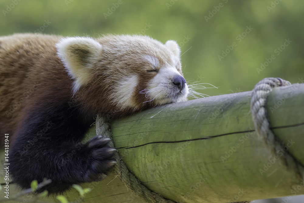 Close up of a red panda sleeping. Exhausted cute animal
