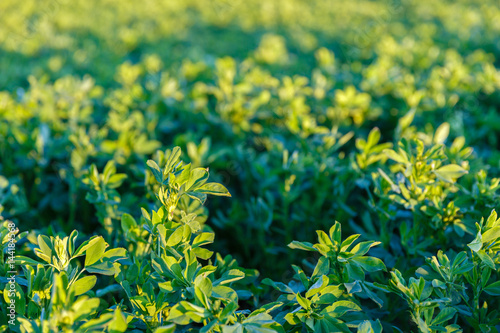 Photo culture alfalfa field at spring