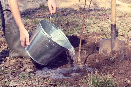 spring works in the garden/ Gardener watering a young seedling of fruit tree after planting